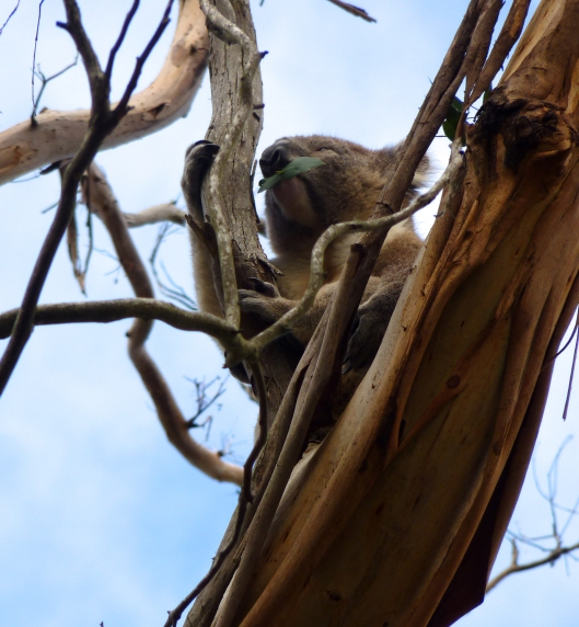 Koala Bear's